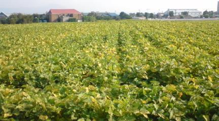 タンブリング大豆